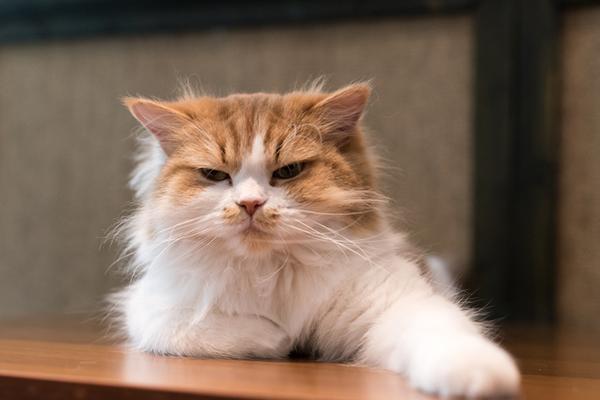 OSTEOARTHRITIS OF THE OLD CAT